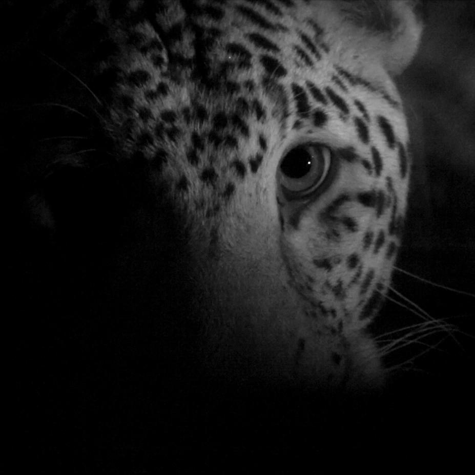 Mumbai Leopard